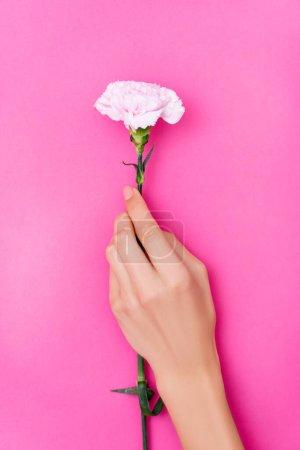 vue du dessus de la main féminine avec vernis à ongles pastel sur les ongles et fleur d'oeillet sur fond rose