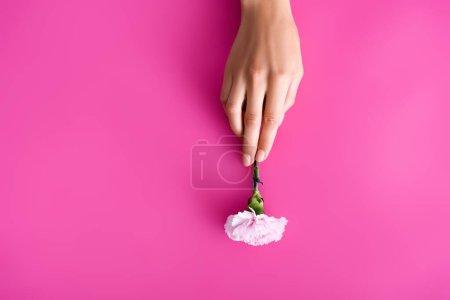 vue de dessus de la main féminine avec des ongles pastel près de fleur d'oeillet sur fond rose