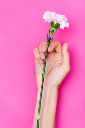 vue du dessus de la main féminine avec vernis brillant sur les ongles près de fleur d'oeillet sur fond rose