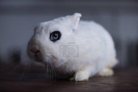 cute rabbit with black eye on dark background