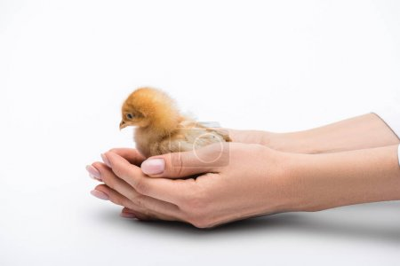 cropped view of chick in hands on white background