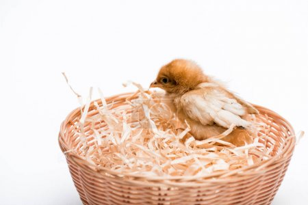 Photo for Cute small chick in nest on white background - Royalty Free Image