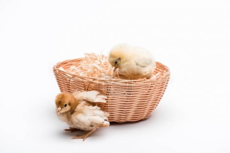cute small chicks in nest on white background