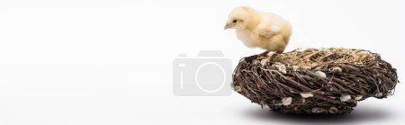 Photo pour Mignon petit poussin dans nid sur fond blanc, bannière - image libre de droit