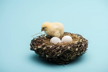 cute small chick with eggs in nest on blue background