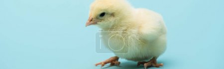 cute small chick on blue background, banner