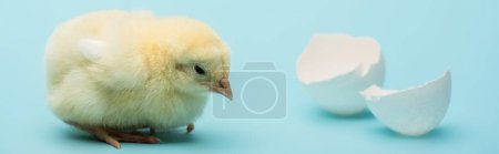 cute small chick and eggshell on blue background, banner