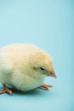 cute small chick on blue background