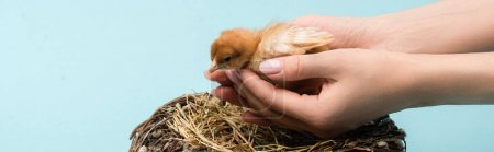 cropped view of woman holding cute small fluffy chick near nest on blue background, banner