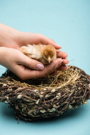 cropped view of woman holding cute small fluffy chick near nest on blue background