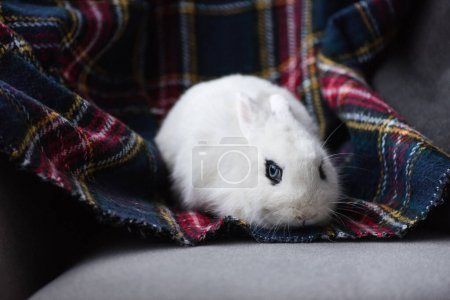 Photo for Cute white rabbit with black eye on checkered blanket - Royalty Free Image