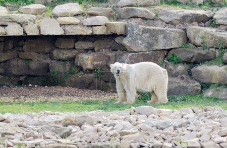 Foto de Oso polar mirando alerta en paisaje después de la nieve descongelada debido al calentamiento global - Imagen libre de derechos