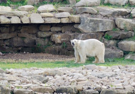 Foto de Oso polar en el paisaje después de nieve descongelada debido al clima cambian - Imagen libre de derechos