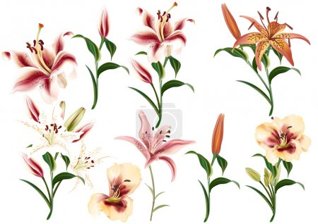 Collection of realistic flowers of lilies