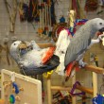 Постер, плакат: Two African Grey Parrots