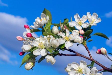 Photo pour Soutenu par un ciel bleu nuageux, des fleurs blanches et des bourgeons rouges non ouverts décorent un pommier au crabe au printemps . - image libre de droit