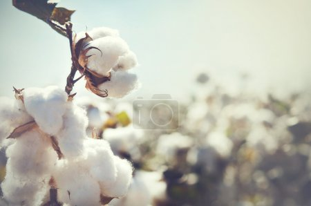Cotton bud crop