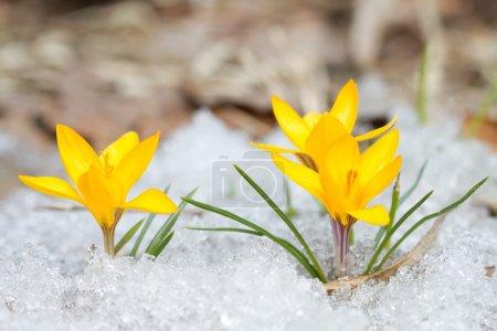 Blossom yellow crocuses