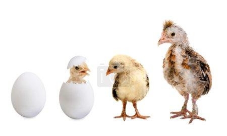 Chicks and white egg