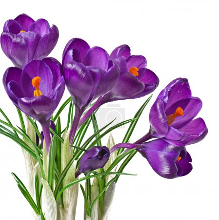 Spring bouquet of purple crocuses isolated on white background
