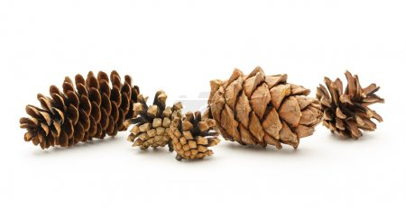 Dry cones on the white background