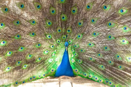 Photo for Beautiful male peacock with opened tail closeup - Royalty Free Image