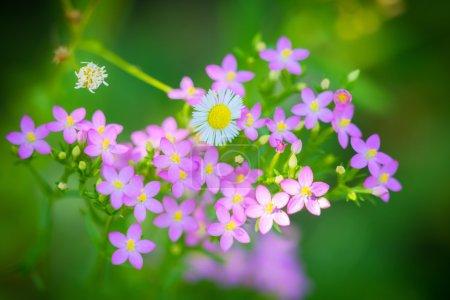 Centaurium erythraea flowers flourished