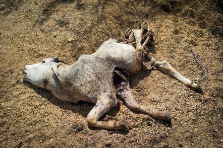 Corpse of calf on ground