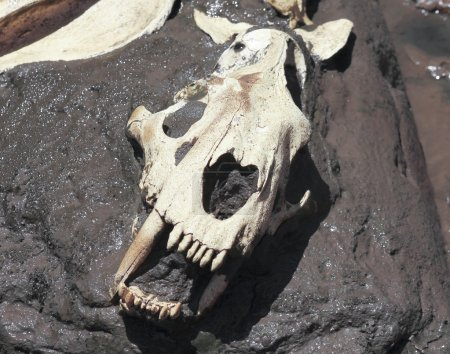 A Smilodon Skull Exposed in a Tar Pit