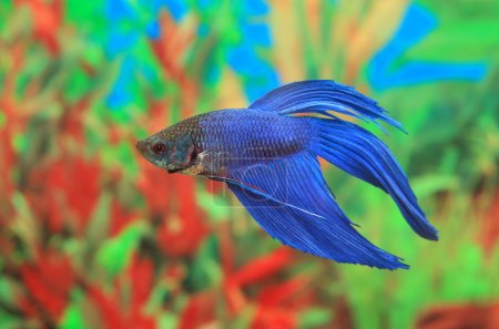 Betta splendens of blue color