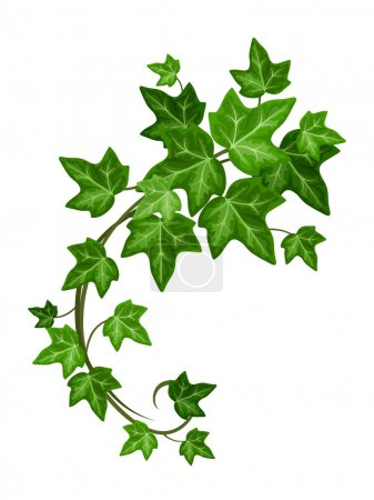 Ivy branch. Vector illustration.