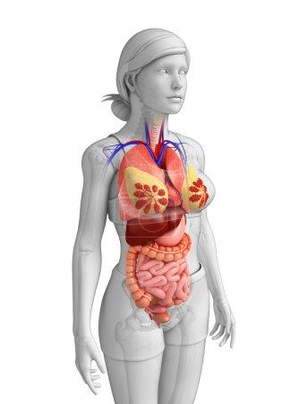 Photo pour Illustration de l'anatomie du gros intestin - image libre de droit
