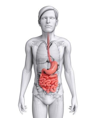 Photo pour Illustration de l'anatomie de l'intestin grêle masculin - image libre de droit