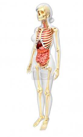 Female skeleton and digestive system
