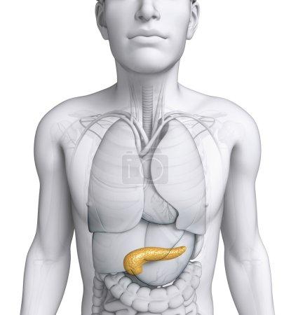 Photo pour Illustration de l'anatomie du pancréas masculin - image libre de droit