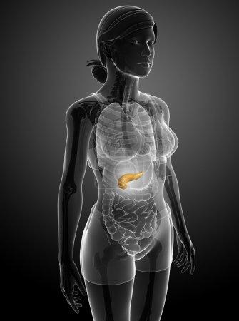 Photo pour Illustration de l'anatomie du pancréas féminin - image libre de droit