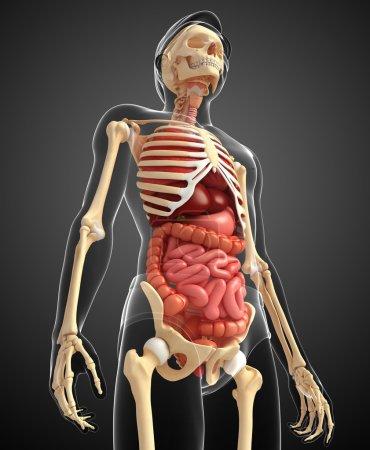 Photo pour Illustration du système digestif squelette masculin - image libre de droit