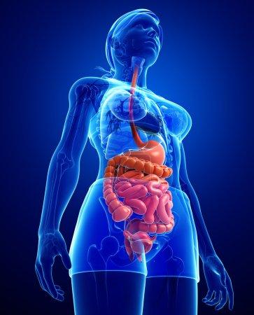 Photo pour Illustration de l'anatomie du petit intestin féminin - image libre de droit