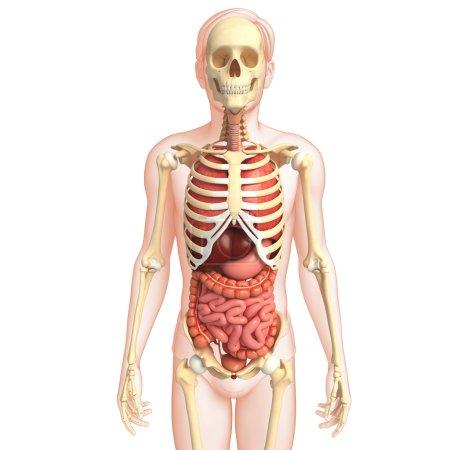 Photo pour Illustration du système digestif humain d'une œuvre d'art squelettique - image libre de droit