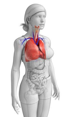 Photo pour Illustration de l'anatomie pulmonaire féminine - image libre de droit