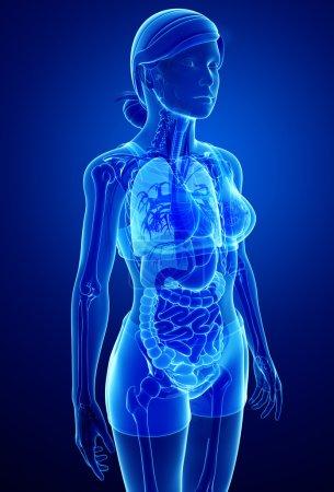 Digestive system with female anatomy