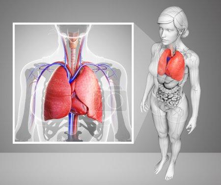 Photo pour Illustration de l'anatomie pulmonaire humaine - image libre de droit