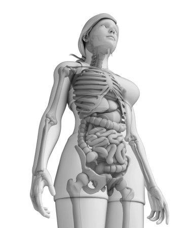 Photo pour Illustration du système digestif féminin - image libre de droit