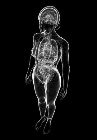 Photo pour Illustration des digestif femelle aux rayons x et d'illustrations de système nerveux - image libre de droit
