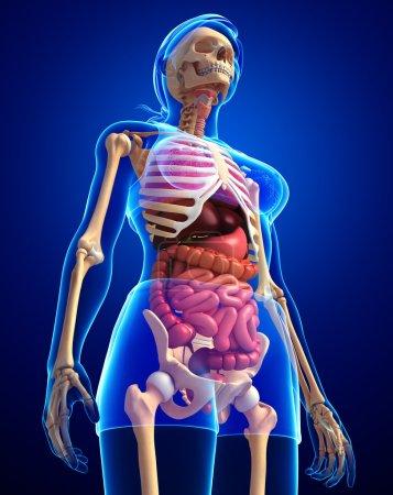 Photo pour Illustration du système digestif du squelette féminin - image libre de droit