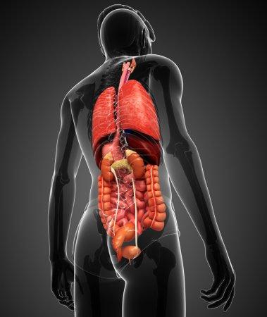 Photo pour Illustration d'une illustration du système digestif masculin - image libre de droit