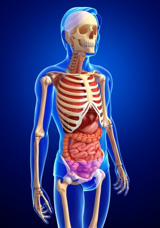 Male skeleton and digestive system