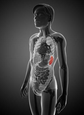Photo pour Illustration de l'anatomie de la rate masculine - image libre de droit