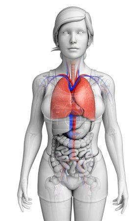 Photo pour Illustration de l'anatomie pulmonaire masculine - image libre de droit