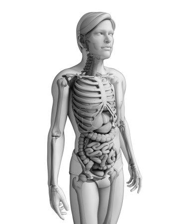 Photo pour Illustration du système digestif masculin - image libre de droit